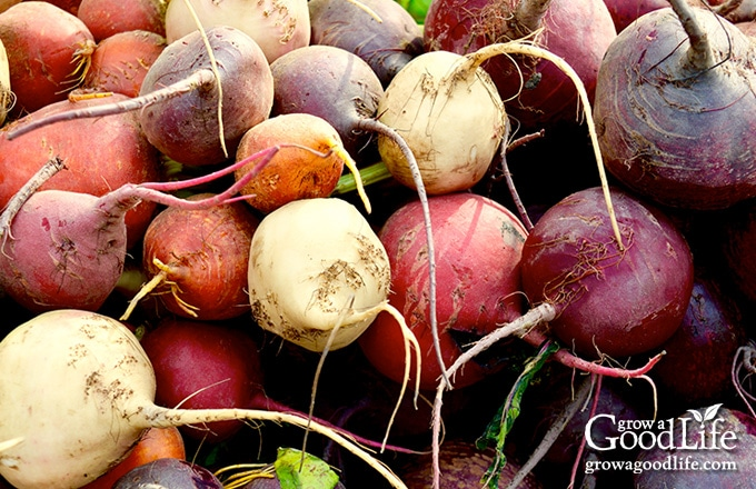 some beet varieties are milder in flavor than the traditional red beets. Gold beets have a milder earthy flavor and white beets even less so.