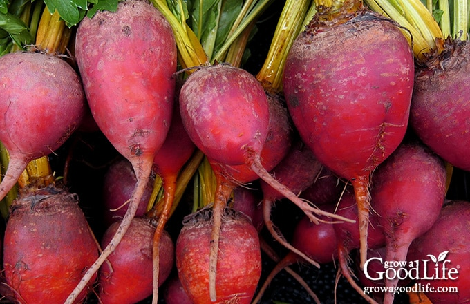 Red beets are the classic beets -- dark red, earthy, and strong beet flavor. Red beets ooze their red liquid when cut and cooked.
