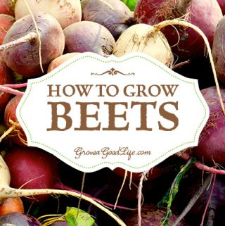 Beets do double-duty in the kitchen, producing tasty roots for canning, roasting, or boiling and fresh greens for salads, soups, and sautéing. Beets can be planted as spring and fall crops. Here are tips for growing beets plus types of beets to consider adding to your vegetable garden.