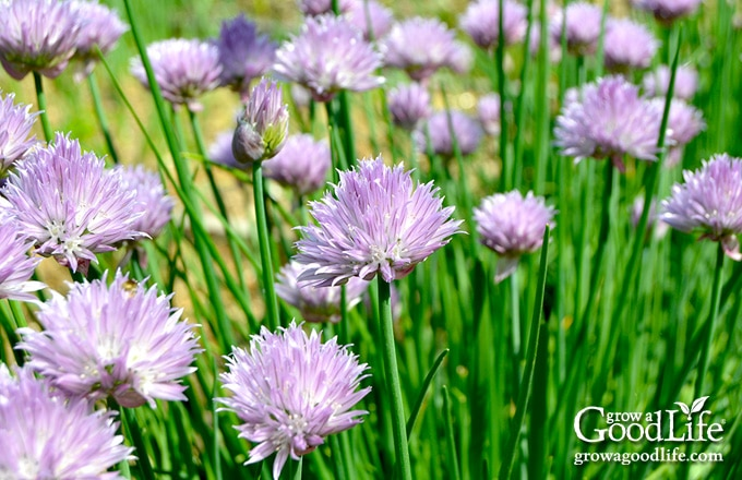 Common chives have a mild onion flavor. The plant features thin, hollow, dark green foliage that grows in a dense clump up to 12 inches high.
