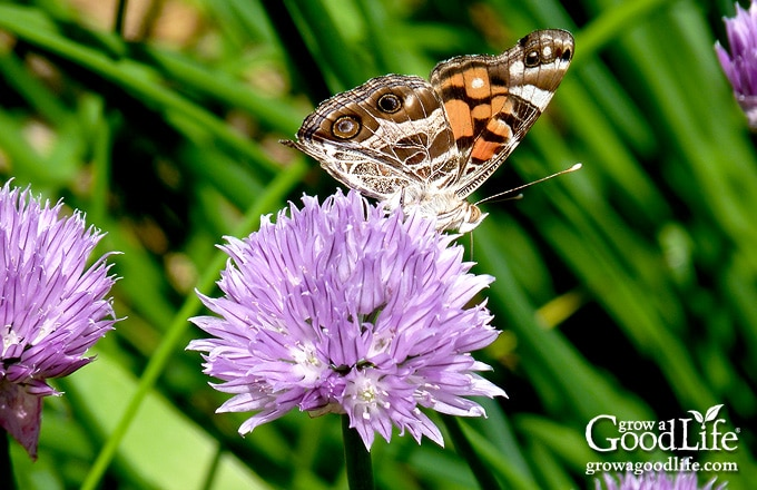 The fragrance and color of chives attract many bees, butterflies, wasps, hornets, and other pollinators to your garden.