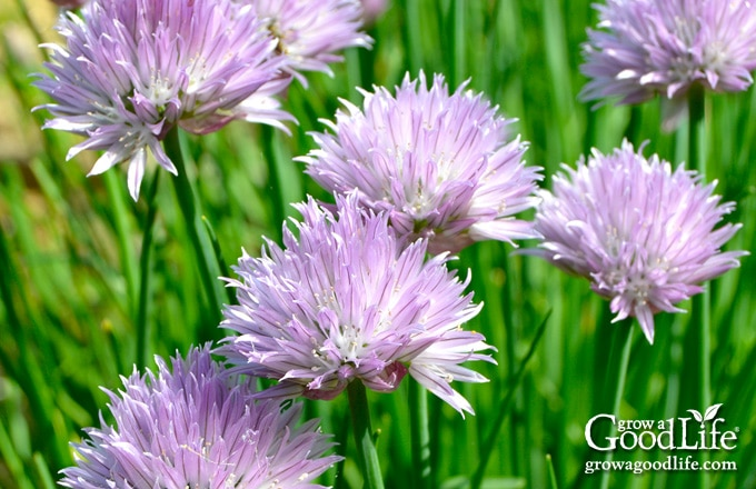 Chives grow in an upright clump of hollow leaves that reach about a foot high. In summer, the plants send up pretty blossoms. All parts of the chive plant are edible.