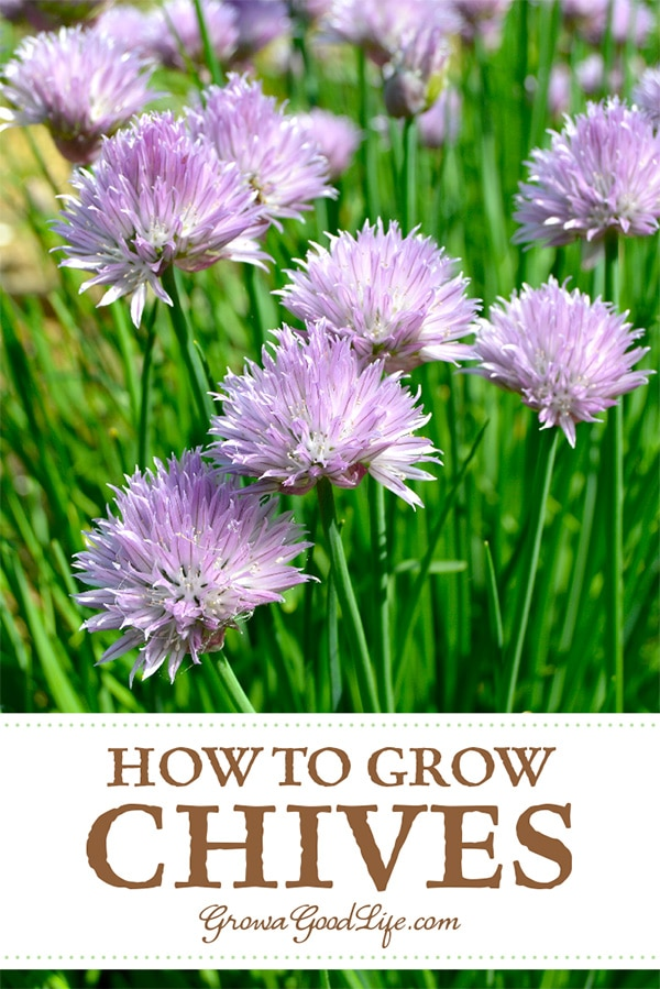 Chives are an easy to grow, hardy perennial herb that will reward you with attractive edible green foliage and colorful blossoms each year. Chives are a versatile and delicious way to flavor many dishes. Here are tips for growing chives.