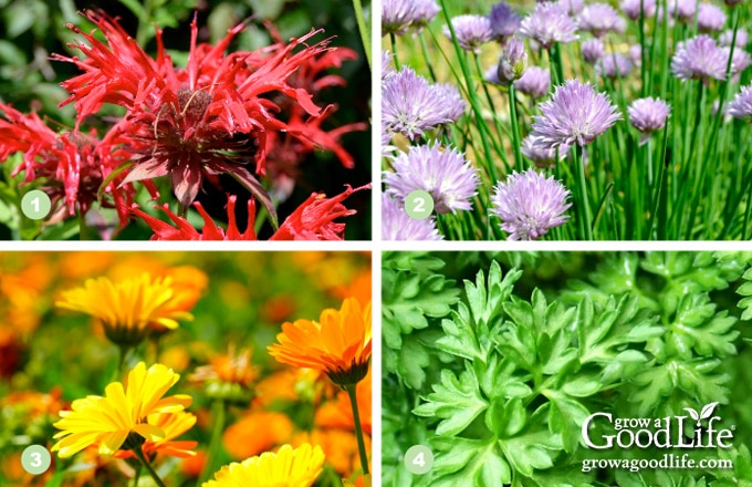 collage showing bee balm, chives, calendula, and chervil plants