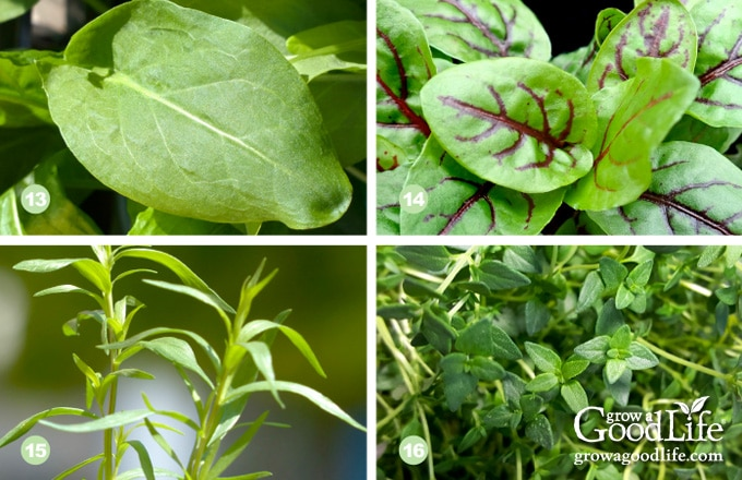 collage photo showing sorrel, red veined sorrel, tarragon, and thyme