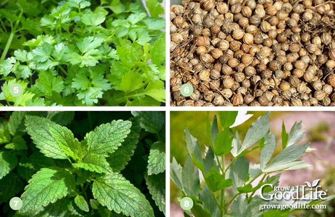 collage photo showing cilantro, coriander, lemon balm, and lovage