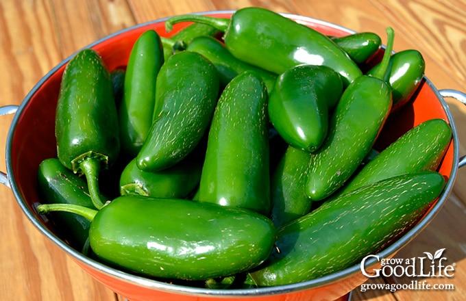 green jalapeno pepper harvest in basket