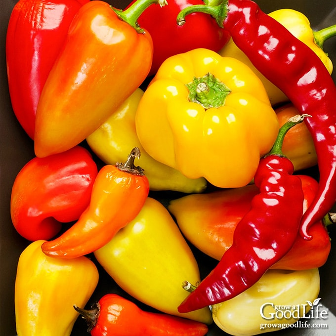overhead image of a pile of mixed peppers