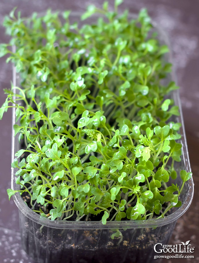 recycled bakery container growing microgreens