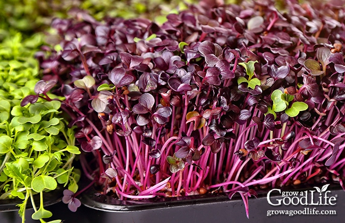 a black tray of red microgreens