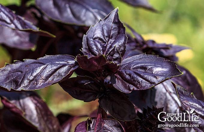 closeup of purple ruffles basil leaves
