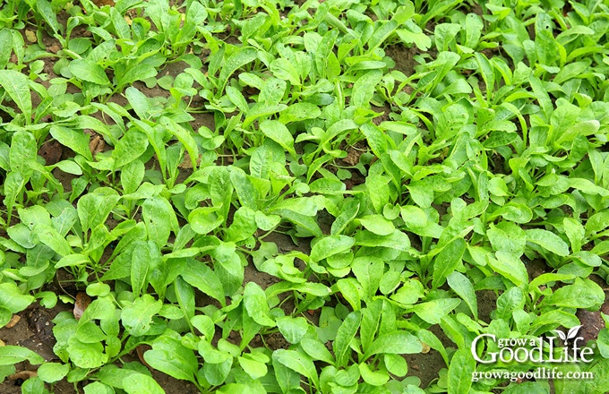 closeup of radish greens used as a cover crop in the garden