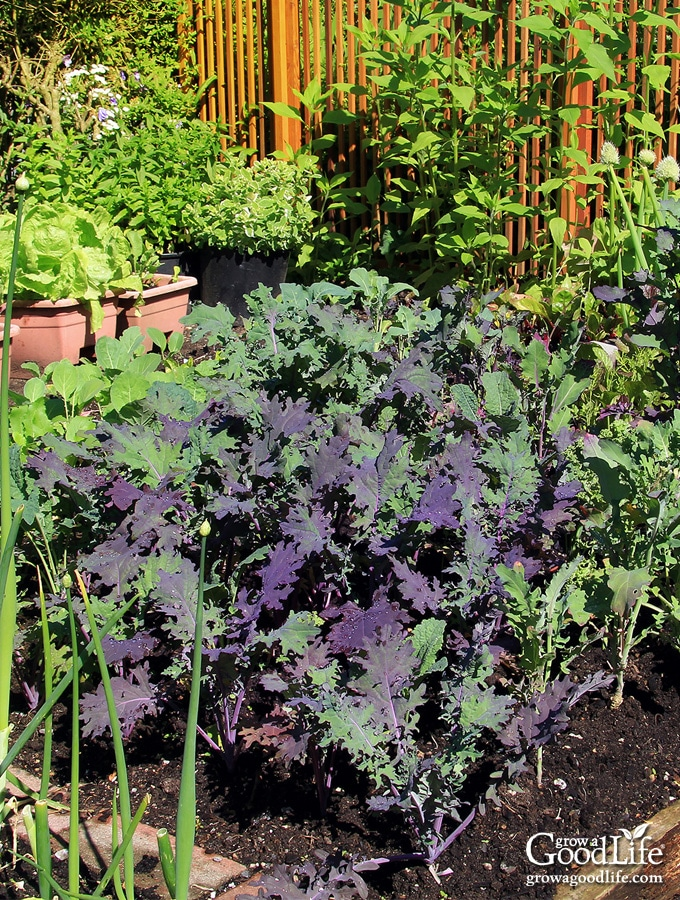 Crop rotation is a great way to maintain healthy soil and reduce pests and diseases in the organic vegetable garden. Discover the benefits of crop rotation and how to apply it to your backyard vegetable garden.
