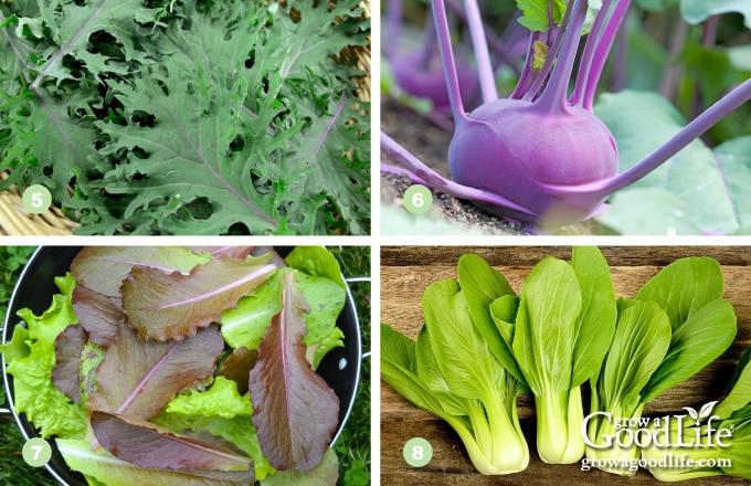 photos of kale, kohlrabi, lettuce, and pak choi