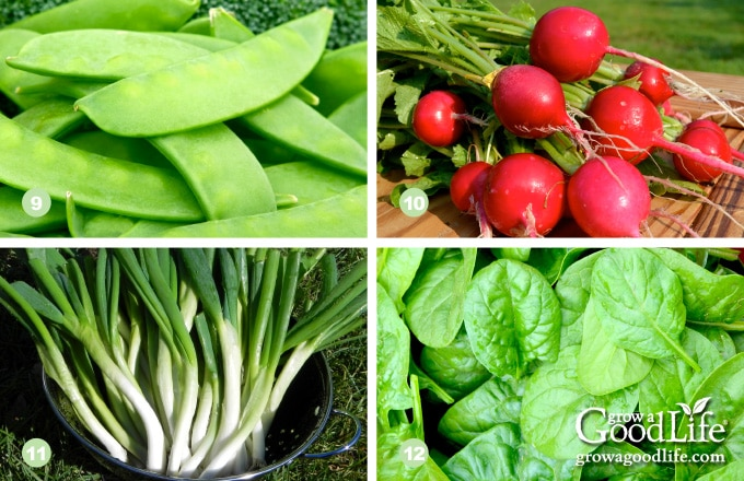 photos of peas, radish, scallions, and spinach harvests