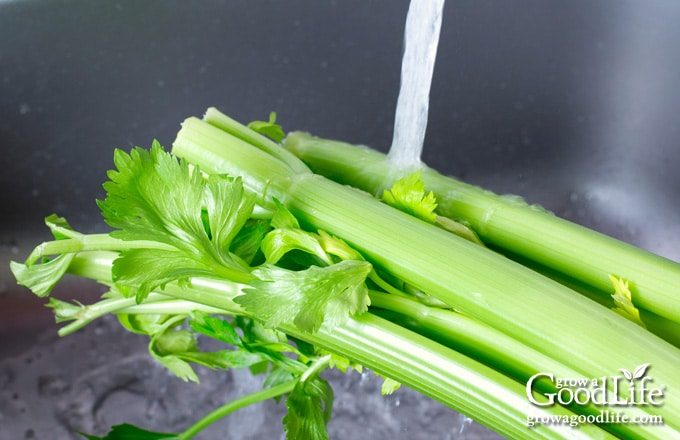 bunch of celery under a stream of running water