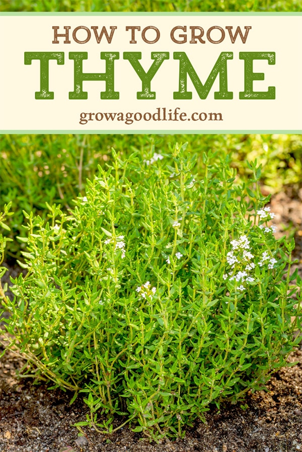 Thyme is a low-growing, woody perennial herb grown for garden beauty and culinary uses. Use these tips to grow thyme in your garden so you can enjoy this beautiful and versatile herb.