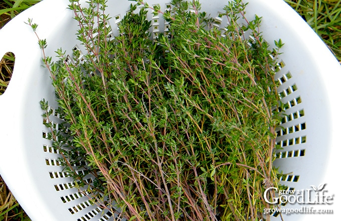 springs of harvested thyme in a white bowl