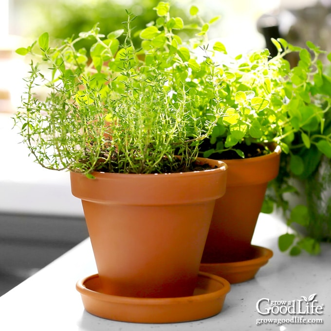 thyme plant in terra-cotta pot on kitchen counter