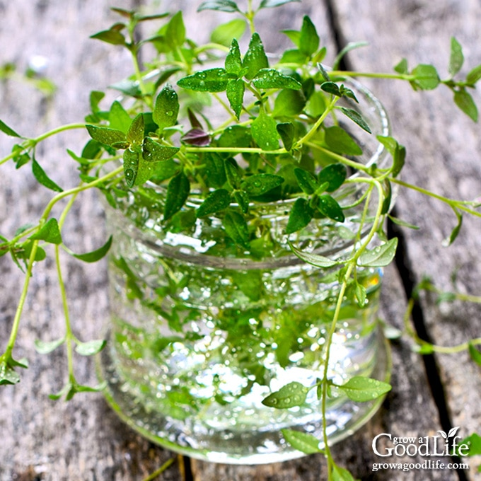 thyme sprigs in a jar of water