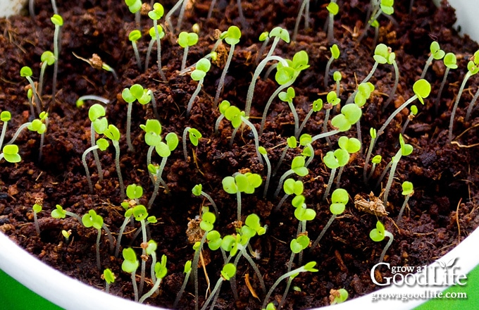 closeup of thyme seeds sprouting