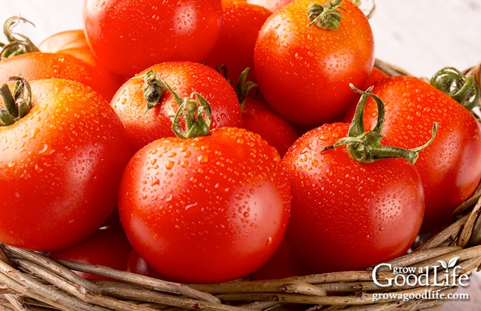tomato harvest in a brown basket