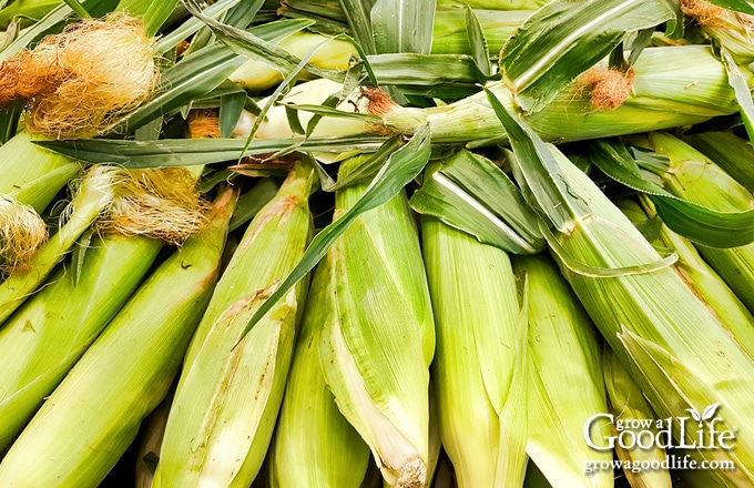 pile of freshly harvested corn on a table