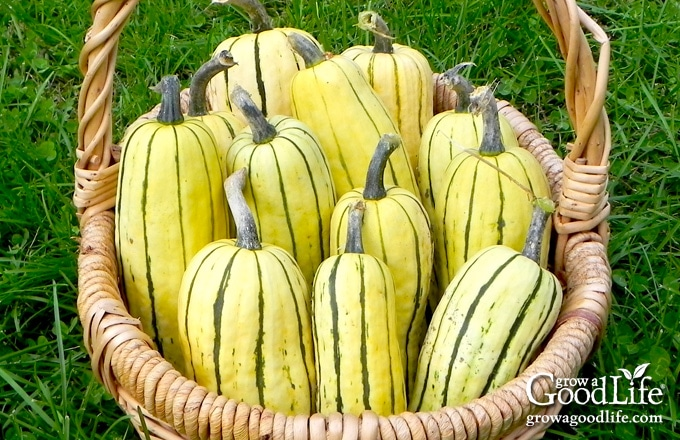 a harvest basket of delicata squash