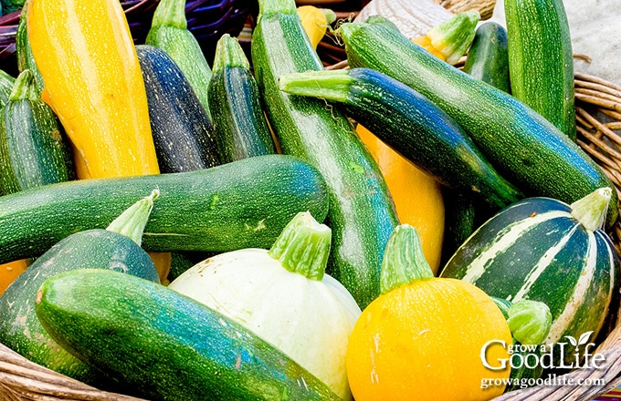 harvest basket filled with different types of zucchini