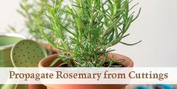 rosemary plant in a pot