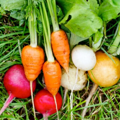 photo of freshly harvested carrots, radish, turnips, and beets
