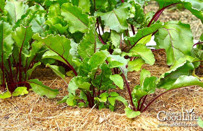 beet plants surrounded with a layer of straw mulch