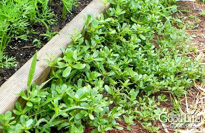 closeup of purslane growing in a garden path