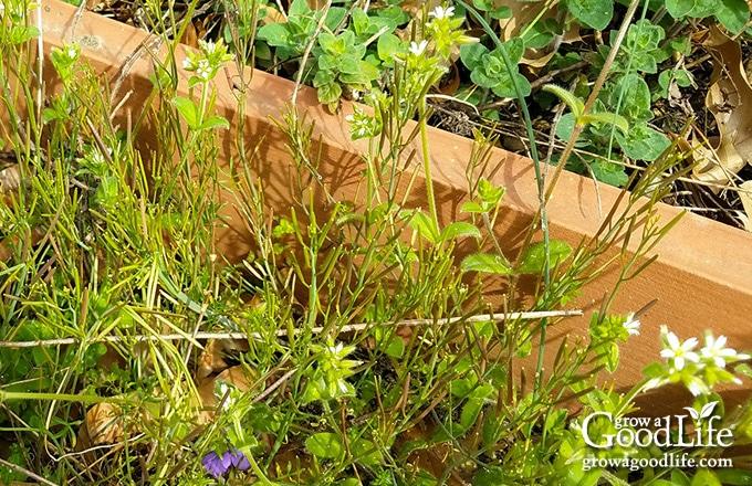 weeds growing in the paths between garden beds