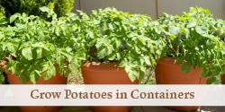 potato plants growing in large pots