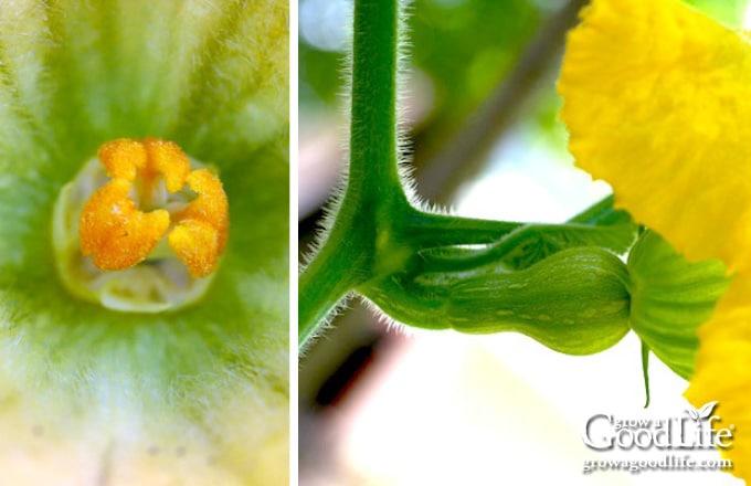 closeup images of female squash blossoms