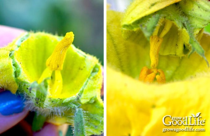images of pollinating squash
