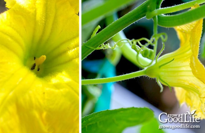 closeup images of male squash blossoms