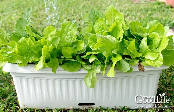 leafy green lettuce growing in a window box