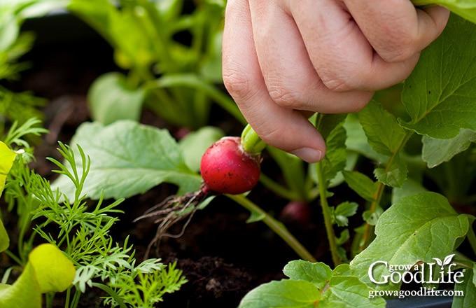 harvesting a radish from a garden planter