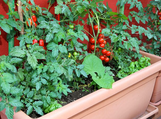 large container growing tomatoes, beans, and herbs