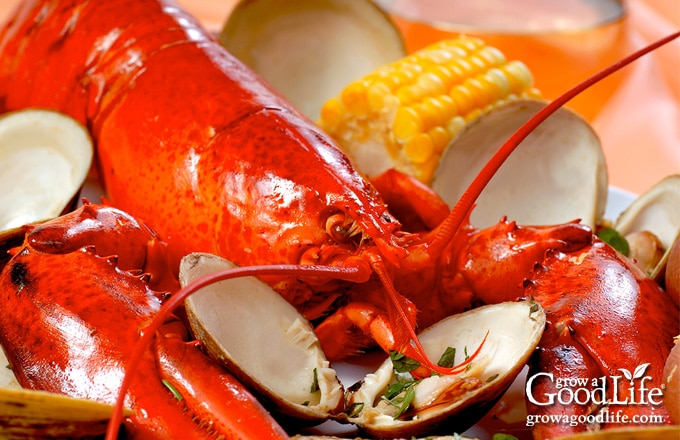 red lobster surrounded by clams, corn, and potatoes on a table