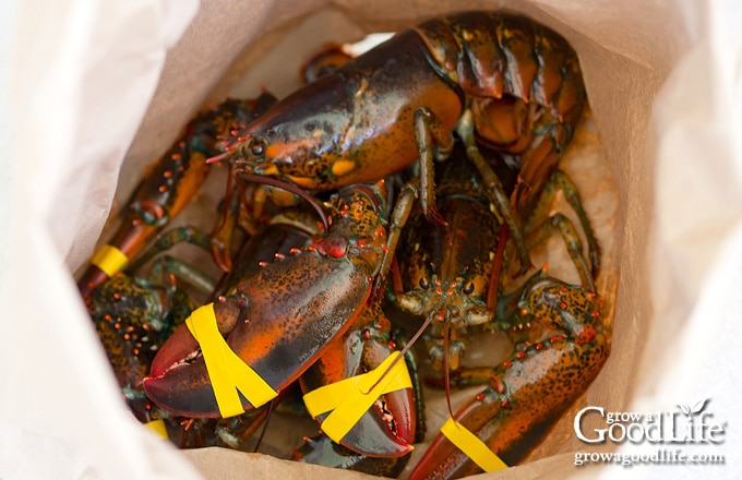 live lobsters in a bag