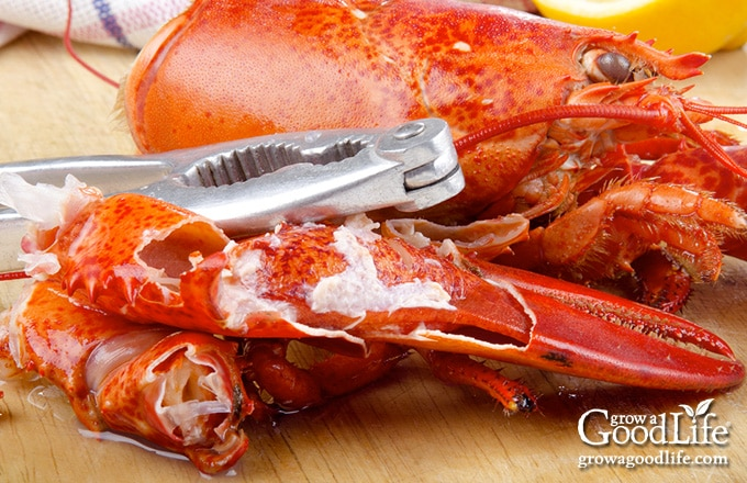 extracting meat from lobster claws
