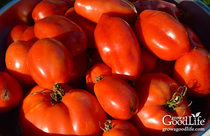 fresh ripe tomatoes in a bowl