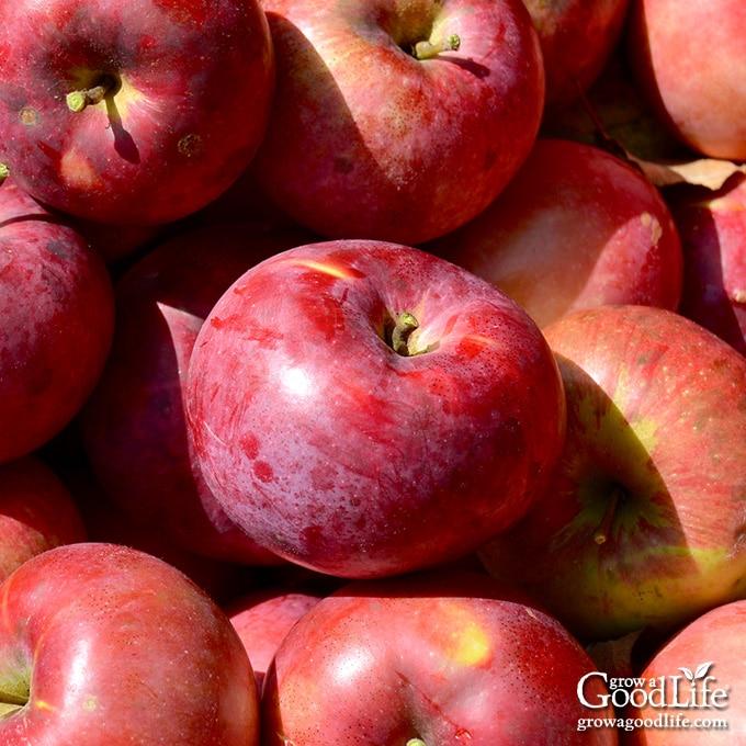 fresh harvested apples in a basket